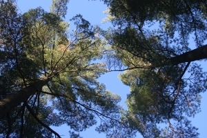 Towering pines everywhere!